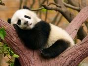 CC_Beijing_Panda.1